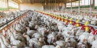 Rischio epidemia di aviaria
