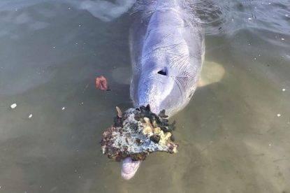 Delfini portano regali a terra