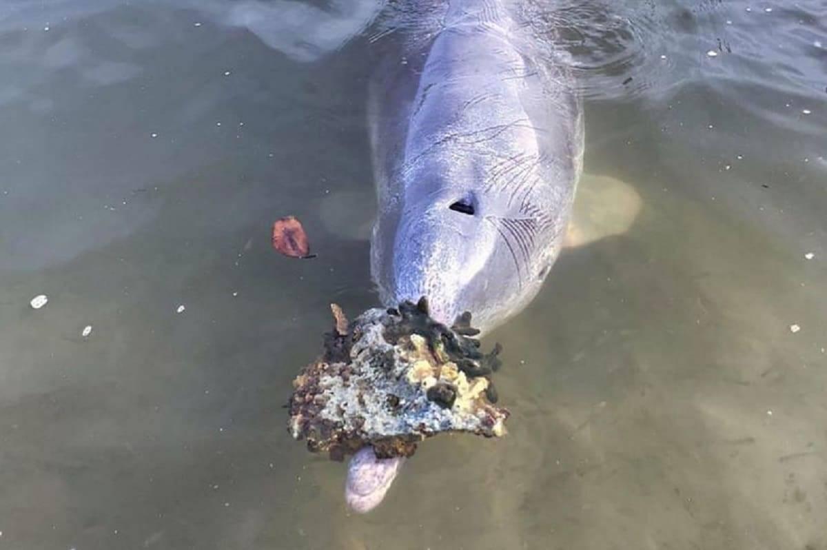 I delfini portano regali a terra |  gli mancano gli umani? La risposta dell'esperto