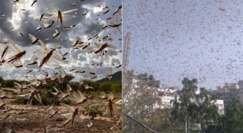 storica invasione di locuste in india