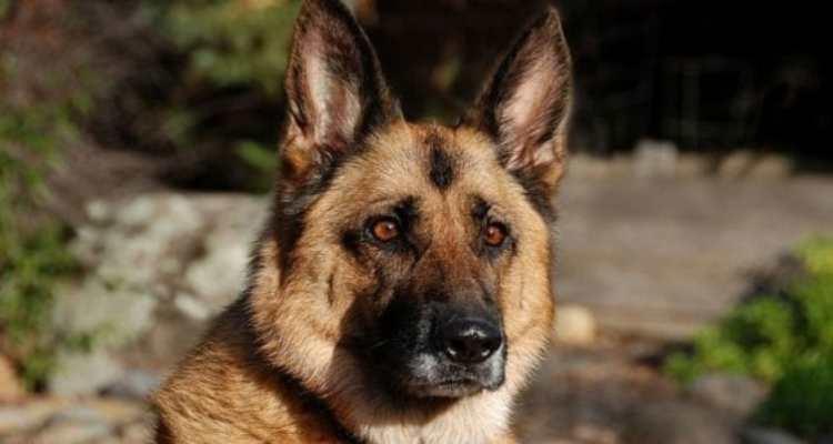Si lancia contro due cani per difendere la padroncina. Pastore tedesco muore per le ferite