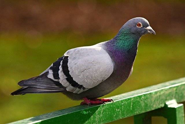 La Polizia ha arrestato un piccione sospettato di essere una