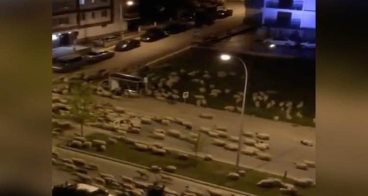 pecore città samsun turchia