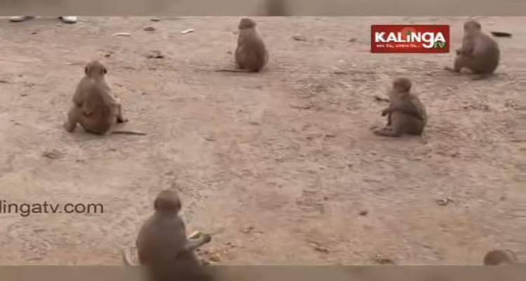 scimmie distanziamento sociale