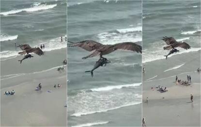 Aquila cattura squalo, o forse no