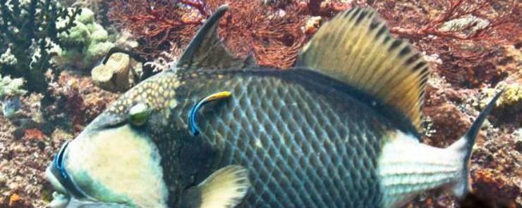 Esemplare di pesce Balestra