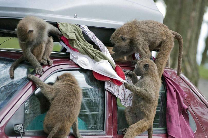 I babbuini al parco safari