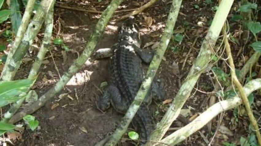 bambino attaccato da un alligatore in spiaggia