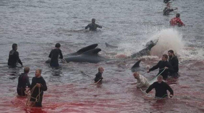 uccisi 300 cetacei