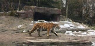 tigre uccide una donna