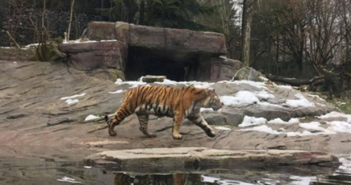 Terrore allo zoo di Zurigo: tigre attacca e sbrana un dipend
