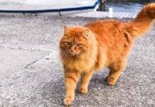 gatto soriano ritorna a casa