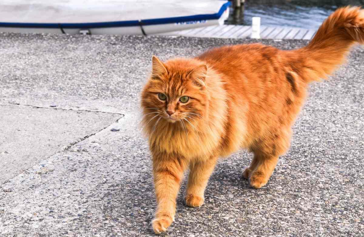 64 km in sette settimane per gatto Soriano: voleva ritrovare la sua famiglia adottiva