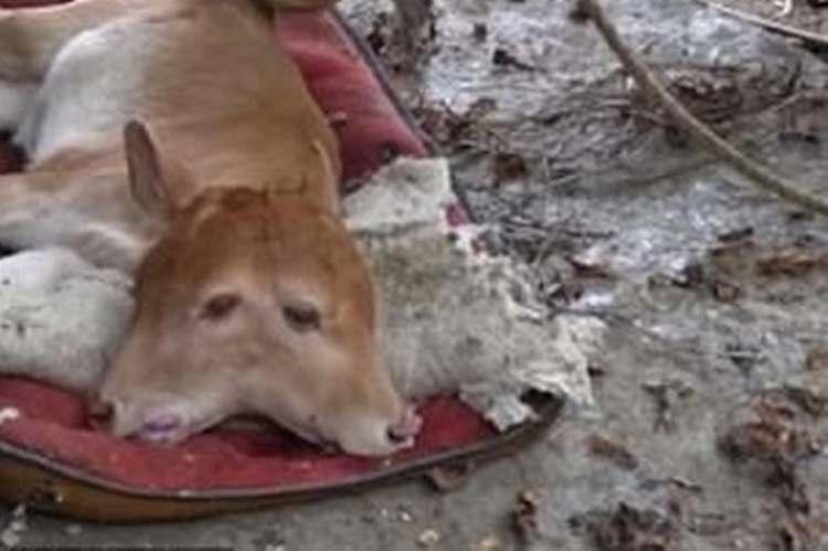 vitello due teste