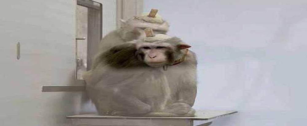 Elettrodi fissati nel cervello delle scimmie con il cemento: la denuncia contro i brutali esperimenti