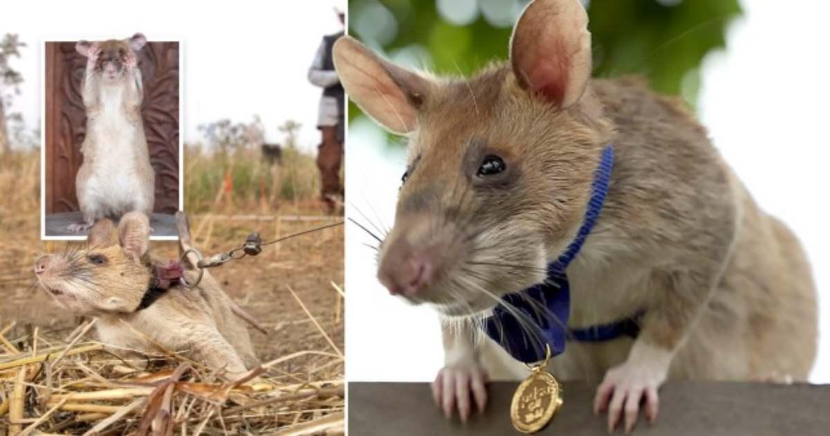 Trova le mine antiuomo in tempi record. Il topo Magaw riceve una medaglia d'oro