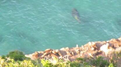 plettenberg bay elefante marino squalo bianco