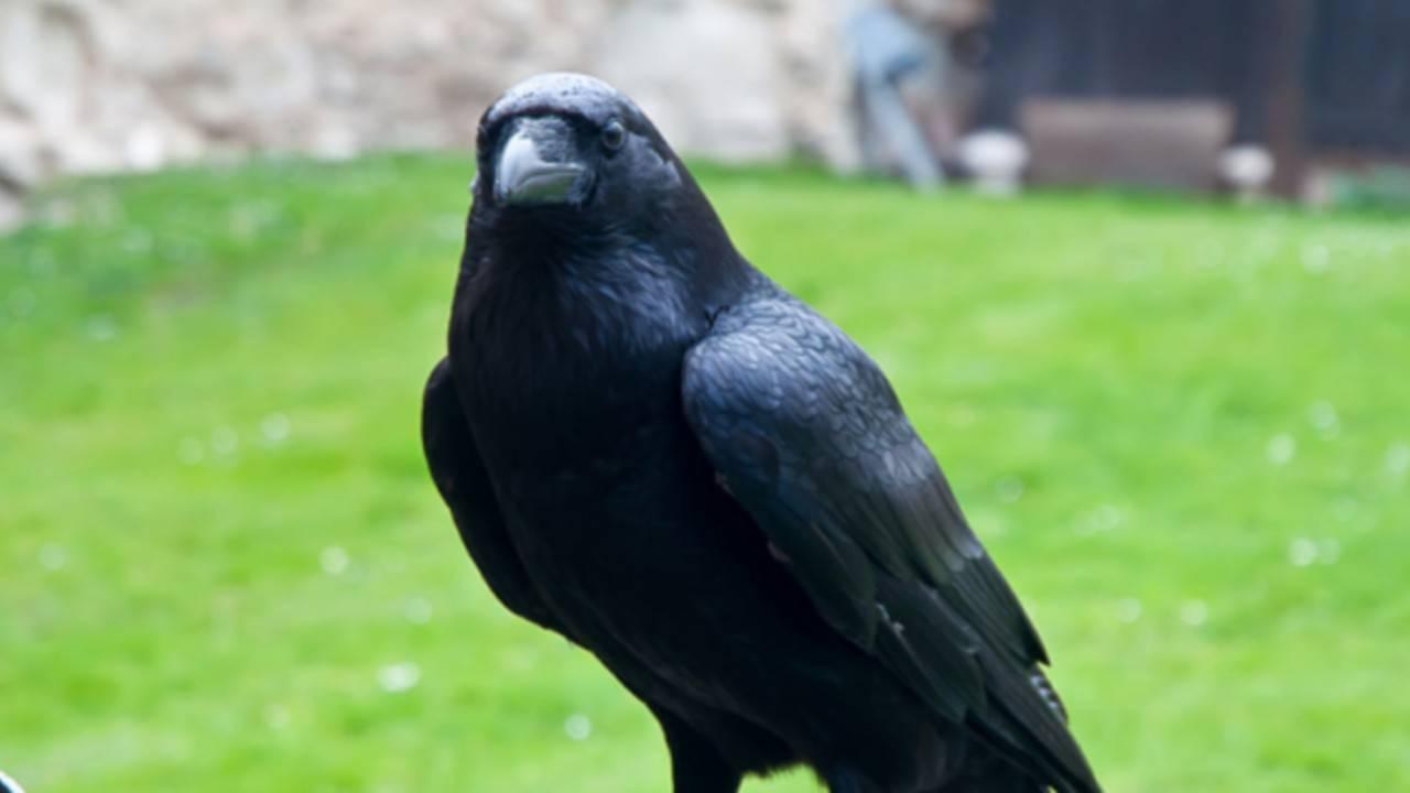 Oscuro presagio su Londra: la Regina dei corvi è scomparsa
