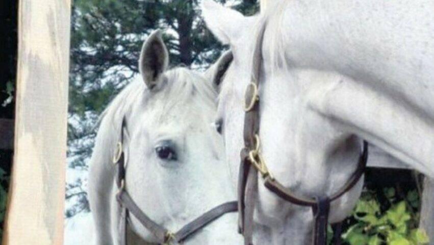 cavalli si riconoscono davanti allo specchio