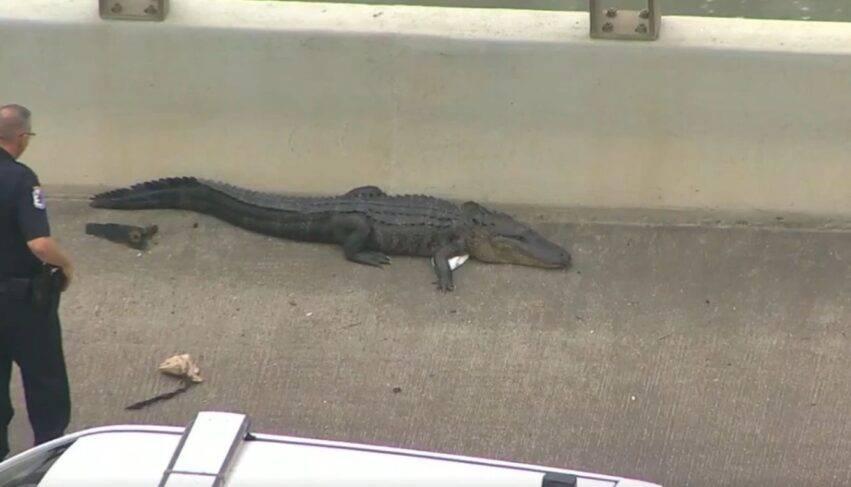 un enorme alligatore
