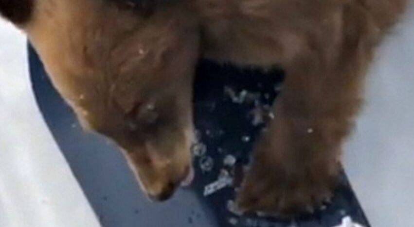 orso senza paura
