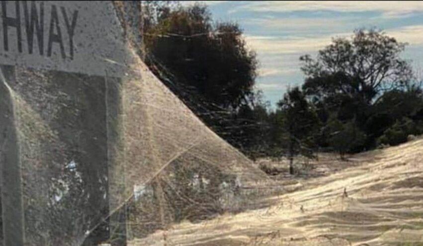 invasione di aracnidi in australia