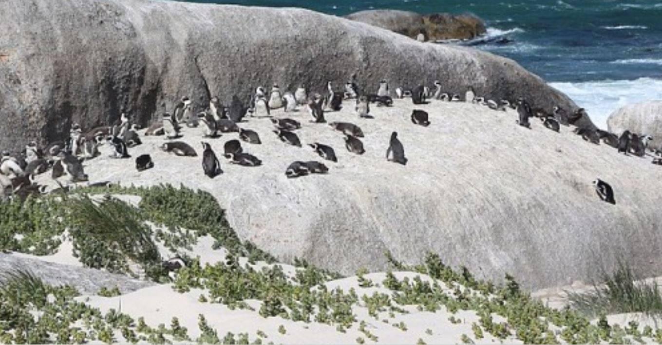Il dramma della natura: 63 pinguini africani in via di estinzione uccisi da uno sciame di api