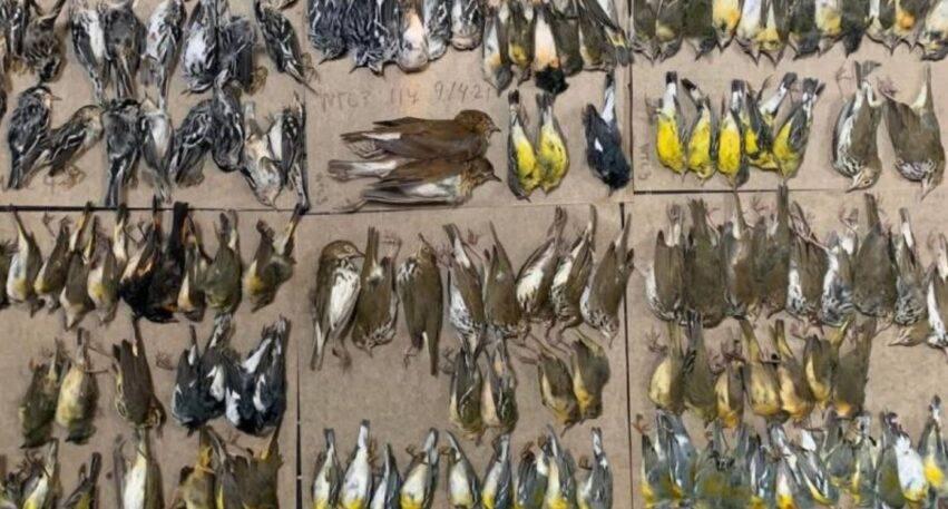 centinaia di uccelli morti