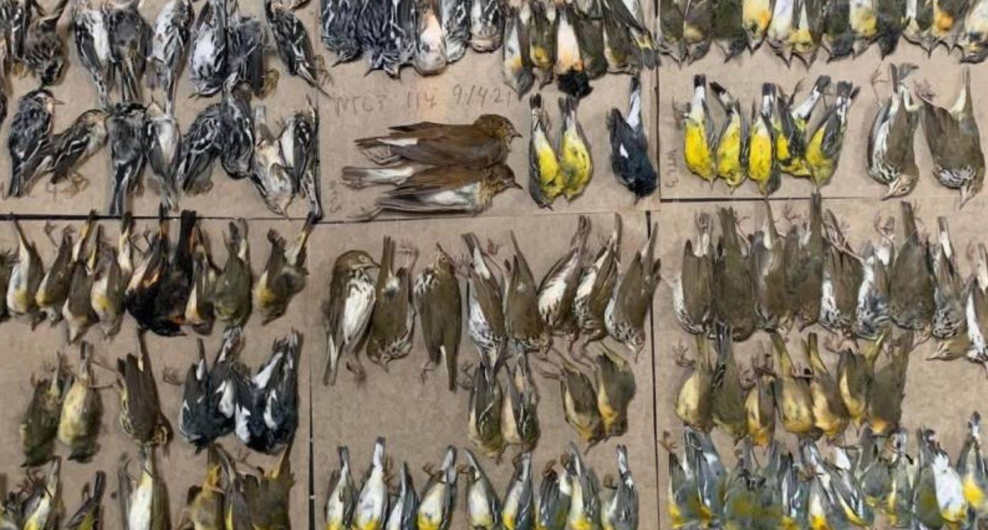 Uccelli si schiantano contro i grattacieli e muoiono: strage di volatili nella Grande Mela